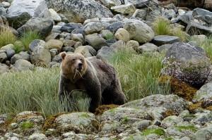 Kanada Bär
