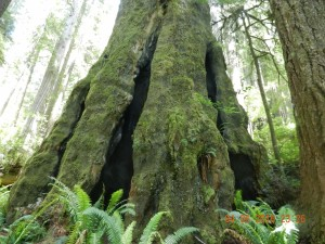 Redwood NP